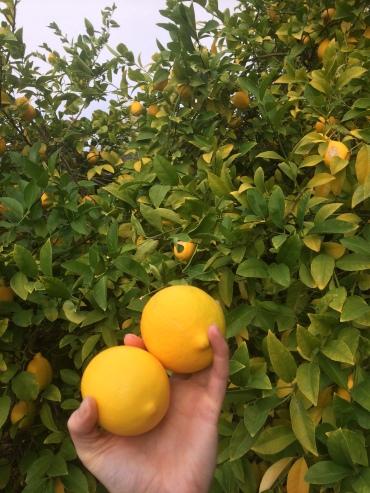 auch die Zitronen im Garten sind nun langsam erntebereit